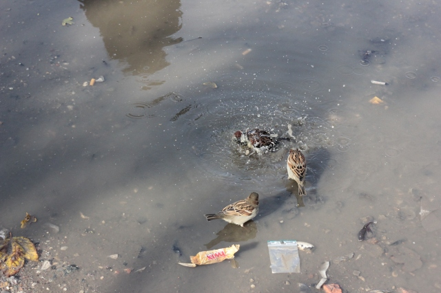 Little birdies bathing in a puddle, just because.